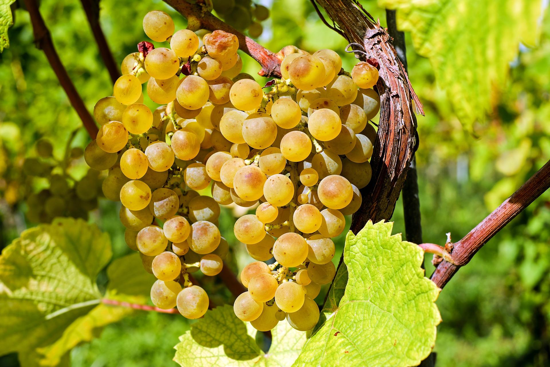 uva-dorada
